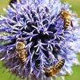 Пчёлы на мордовнике