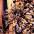 Пчела медоносная и матка